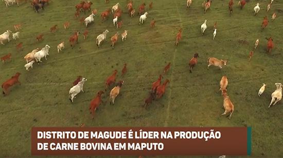 Distrito de Magude é líder na produção de carne bovina em Maputo