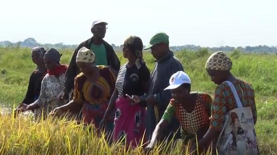 IIAM e IRRI realizam dia de campo de selecção participativa de linhas promissoras do arroz